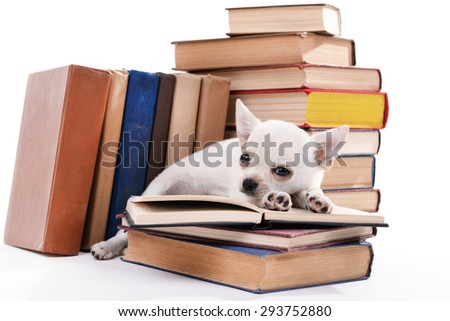 Adorable chihuahua dog and heap of books close up - stock photo
