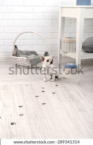 Adorable chihuahua dog and muddy paw prints on wooden floor in room - stock photo
