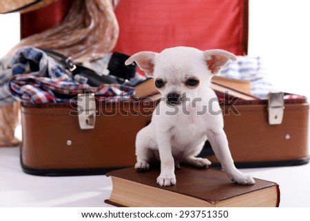 Adorable chihuahua dog and suitcase with clothing close up - stock photo