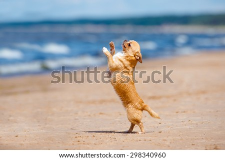 adorable chihuahua dog dancing on the beach - stock photo