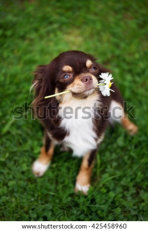 adorable chihuahua dog holding a flower outdoors in summer - stock photo