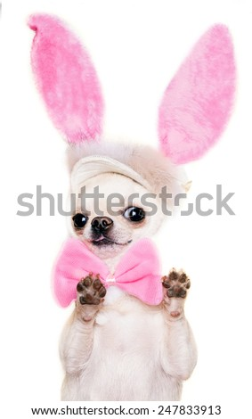 adorable chihuahua dog in a costume of Easter hare standing with paws up isolated