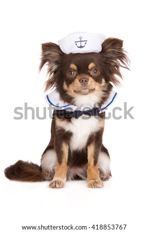 adorable chihuahua dog in a sailor costume