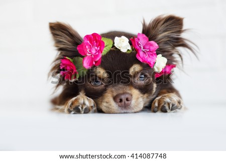 adorable chihuahua dog lying down in a flower crown - stock photo