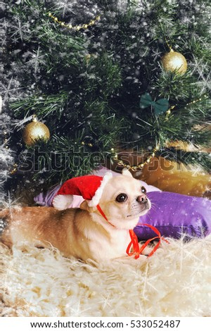 Adorable chihuahua dog wearing a red hat in new year decorated interior