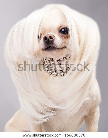 adorable chihuahua dog with accessories - stock photo