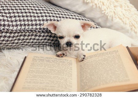 Adorable chihuahua dog with book and pillows on carpet in room - stock photo