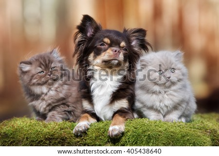 adorable chihuahua dog with two fluffy kittens - stock photo