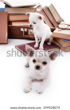 Adorable chihuahua dogs and heap of books close up - stock photo