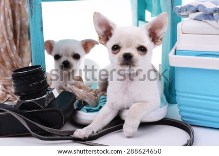 Adorable chihuahua dogs and heap of different things close up - stock photo