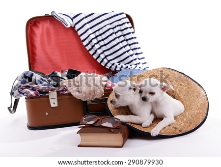 Adorable chihuahua dogs and suitcase with clothing isolated on white - stock photo