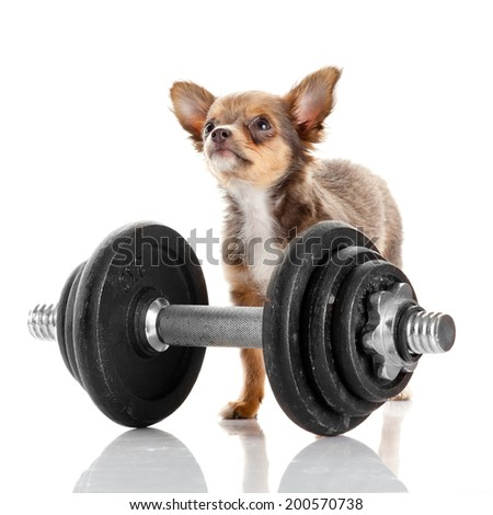 adorable Chihuahua puppy. Cute Chihuahua dog on a white background. - stock photo