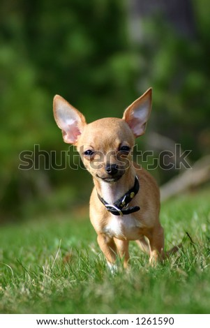 Adorable chihuahua puppy dog, ears standing up and blurred background - stock photo