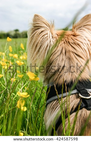 Adorable Chihuahua puppy dog isolated domestic pet in field of flower - stock photo