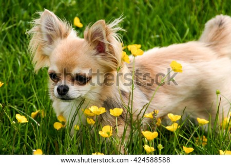 Adorable Chihuahua puppy dog isolated domestic pet in field of flowers - stock photo