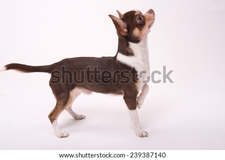 adorable Chihuahua puppy staying  on floor isolated on white  background looking aside   - stock photo