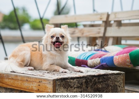 Adorable Chihuahua's laying down on the table with the happy face (Selective Focus Point) - stock photo