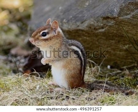 Adorable chipmunk in early Spring
