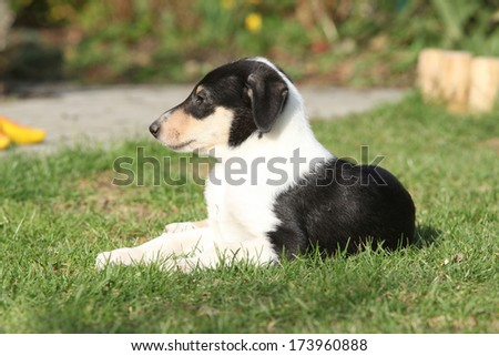Adorable Collie Smooth in the garden in spring