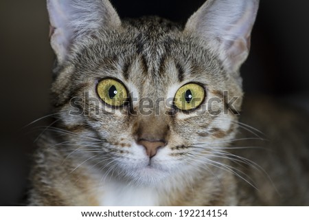 Adorable common cat hair tabby - stock photo