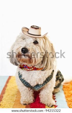 Adorable coton de tulear dog in cowboy hat and kerchief - stock photo