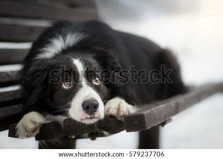 Best Sad Black Adorable Dog - stock-photo-adorable-cute-black-and-white-border-collie-laying-on-the-bench-with-sad-eyes-579237706  Gallery_711567  .jpg