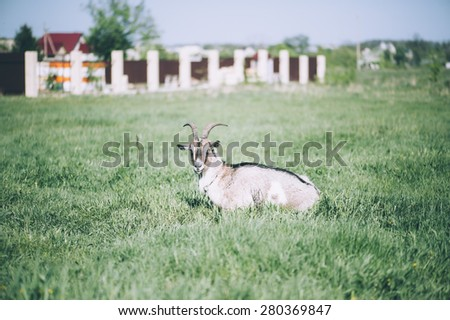 Adorable cute farm goat lying on a green farm pastures