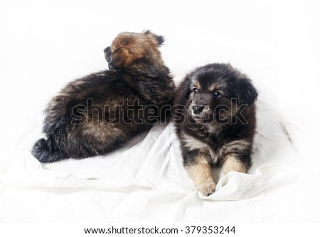 Adorable cute little puppies on light background. Two puppies dogs. Selective focus. - stock photo