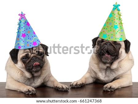 adorable cute pug dog puppies singing and wearing  birthday hat, isolated on white background