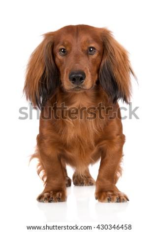 adorable dachshund dog standing on white - stock photo