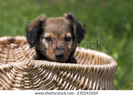 Adorable dachshund puppy sitting in a basket - stock photo