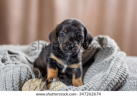 Adorable Dachshund Puppy with wool ball - stock photo