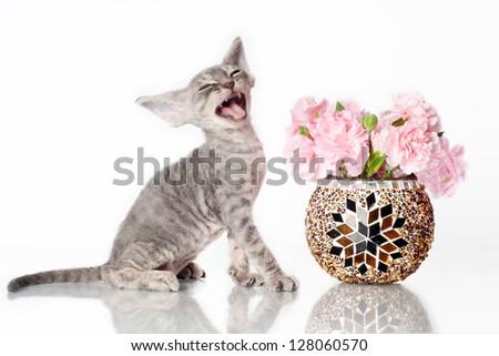 adorable devon rex kitten meowing - stock photo