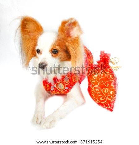 "Adorable dog in Chinese Traditional Red Dress ""Qipao"", made from silk, isolated on white background, with soft sunlights, selective focus, Continental Toy Spaniel Papillon Pure Breed - stock photo"