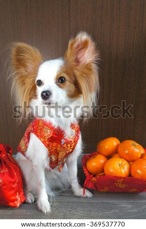 "Adorable dog in Chinese Traditional Red Dress ""Qipao"", made from silk, isolated on wooden background, selective focus, Continental Toy Spaniel Papillon Pure Breed  - stock photo"
