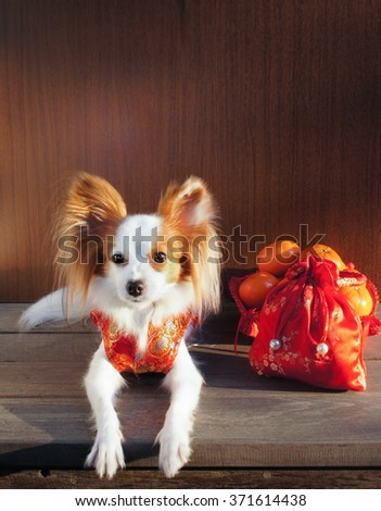"Adorable dog in Chinese Traditional Red Dress ""Qipao"", made from silk, isolated on wooden background, with soft sunlights, selective focus, Continental Toy Spaniel Papillon Pure Breed. Light and Shade - stock photo"