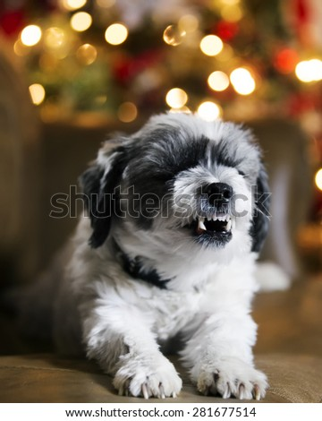 Adorable dog in front of Christmas tree and lying on the cough stretching, yawingin, and showing teeth.