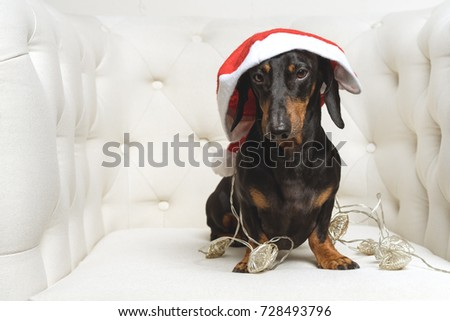 Best Puppy Black Adorable Dog - stock-photo-adorable-dog-puppy-dachshund-black-and-tan-wearing-santa-hat-and-wrapped-in-a-new-year-s-728493796  HD_715529  .jpg