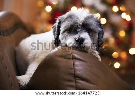 Adorable dog waiting on Christmas