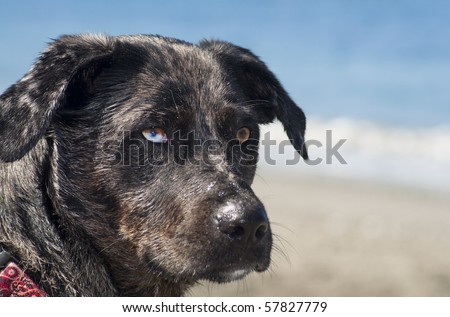 Adorable dog with different color eyes standing on a beach next to the ocean water on a beautiful sunny day.