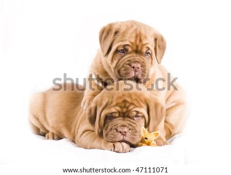 adorable dogue de bordeaux puppy - stock photo