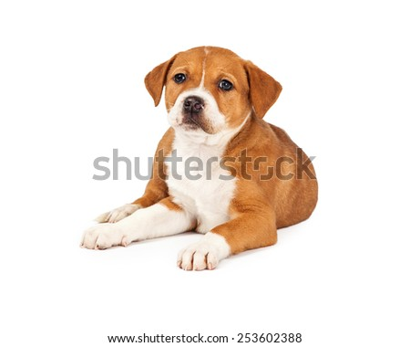 Adorable eight week old mixed Shepherd breed puppy dog laying down - stock photo