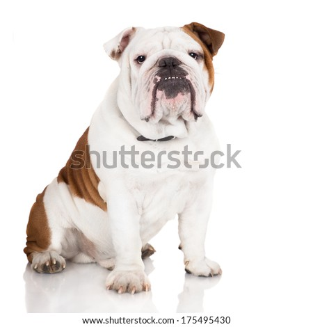 adorable english bulldog - stock photo