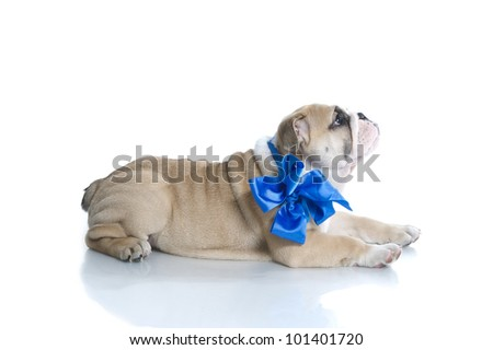 Adorable English bulldog puppy with blue ribbon isolated - stock photo