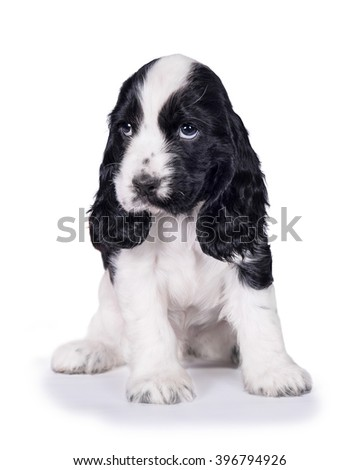 Best Sad Black Adorable Dog - stock-photo-adorable-english-cocker-spaniel-puppy-with-sad-eyes-isolated-on-white-396794926  Gallery_711567  .jpg