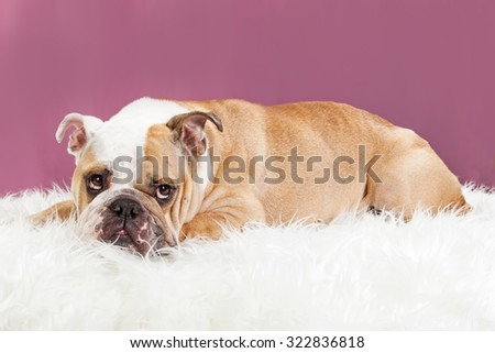 Adorable female English Bulldog breed dog laying on a white fur blanket with a pink studio background - stock photo