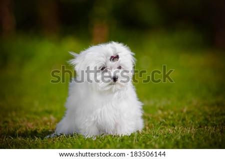 adorable fluffy maltese dog puppy - stock photo