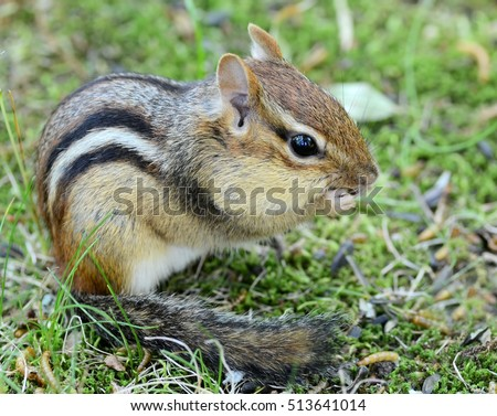 Adorable fluffy tailed chipmunk sitting and snacking