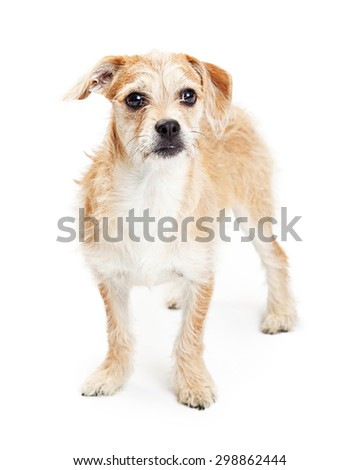Adorable four month old scruffy terrier crossbreed dog standing on a white background