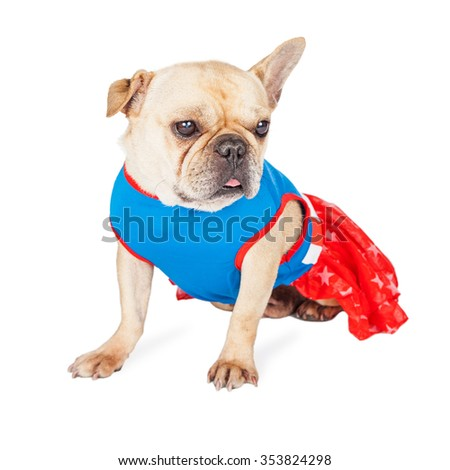 Adorable French Bulldog breed dog wearing a red, white a blue super hero dress - stock photo
